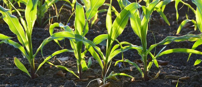 Corn Emergence and Insect Field Scouting