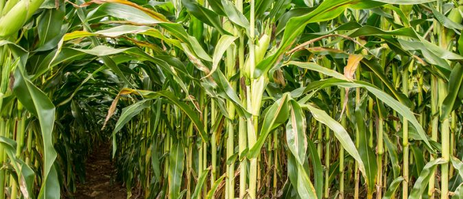 Maximizing Corn Silage Yield and Quality