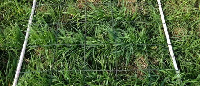 Ryegrasses for Pastures